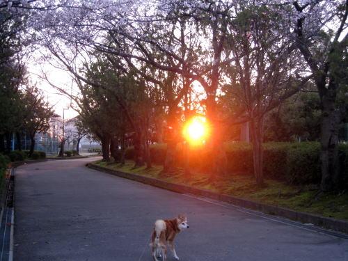 桜と朝日と犬