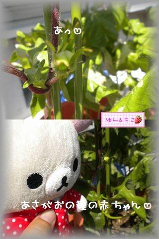 ちこちゃんのあさがお観察日記★19★種の赤ちゃん-2
