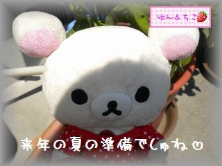 ちこちゃんのあさがお観察日記★19★種の赤ちゃん-3