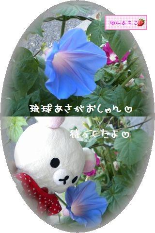 ちこちゃんのあさがお観察日記★20★1個目が咲いたよ-2