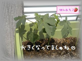 ちこちゃんの観察日記2011★19★オクラさんこんにちは-2
