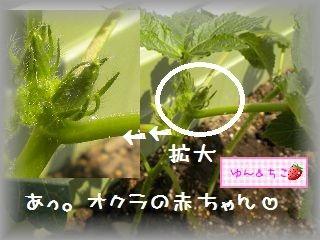 ちこちゃんの観察日記2011★19★オクラさんこんにちは-3
