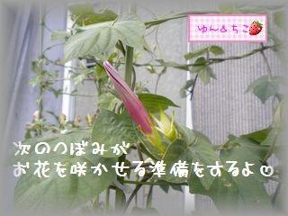 ちこちゃんのあさがお観察日記★21★ 1つ目の花が咲き終わると・・・-4