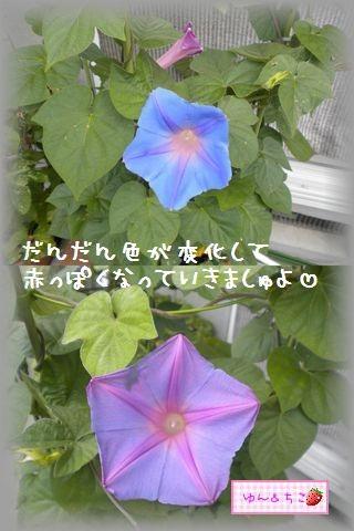ちこちゃんのあさがお観察日記★21★ 1つ目の花が咲き終わると・・・-2