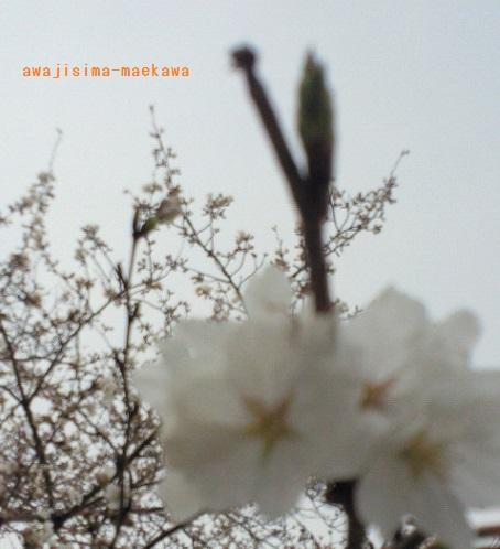 201303261447000sakura.jpg