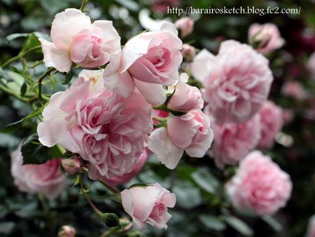 ホームガーデン5月の花