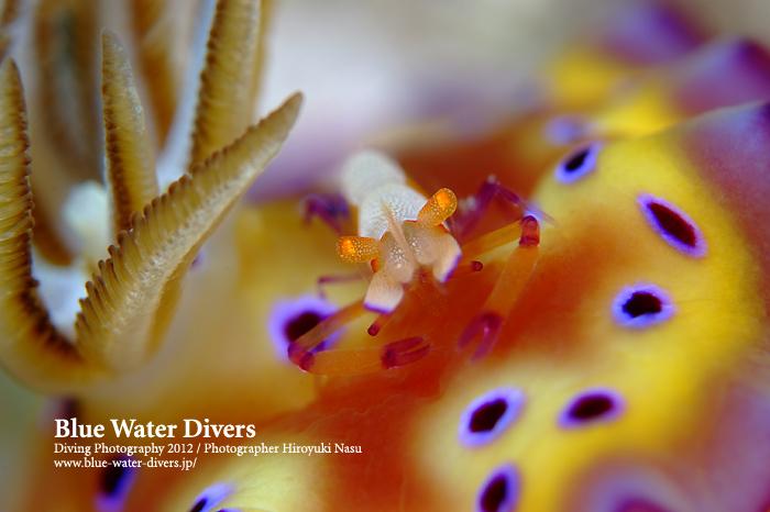 ウミウシカクレエビ&オトヒメウミウシ