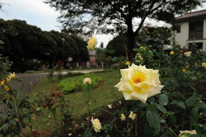 続・横浜のバラ