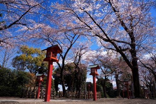 wasi_sakura_1.jpg