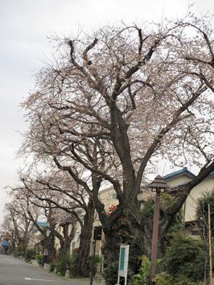 住宅街の桜並木