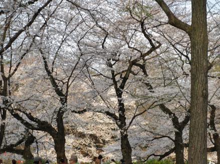 桜満開の井の頭公園