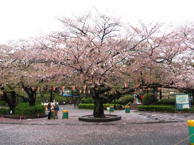 上野の葉桜