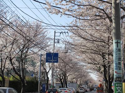 三鷹通りの桜並木