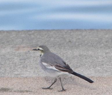 岸辺の小鳥③
