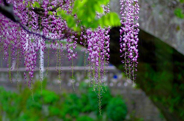 西寒田神社の藤