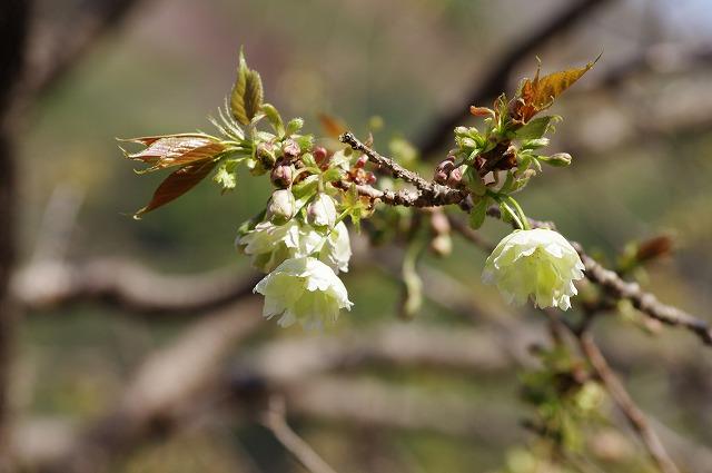 黄色い桜(鬱金桜) 大分市一心寺