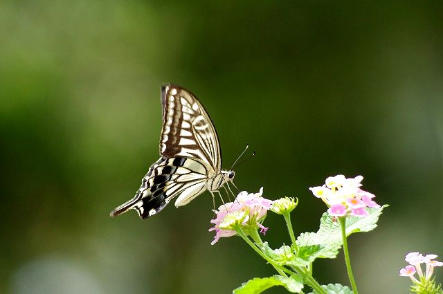 ランタナに舞うアゲハ蝶