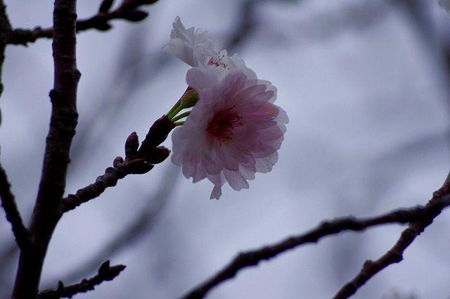 狂い咲き、春はまだだよ♪