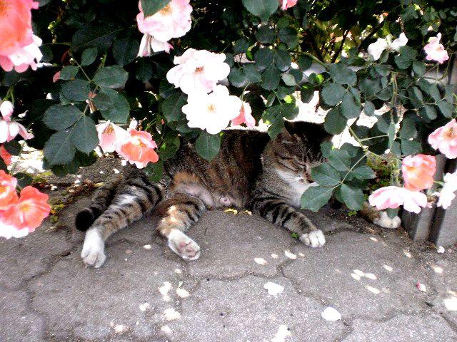 薔薇の下でお昼寝(猫)