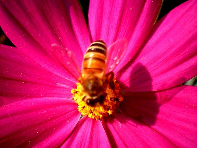ミツバチさんはお食事ちゅう