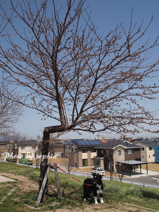 20130409sakura1.jpg