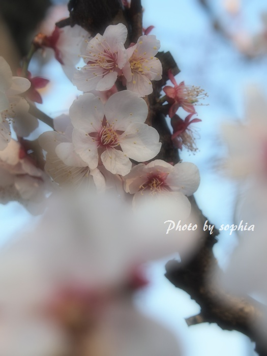 20130413お花見2