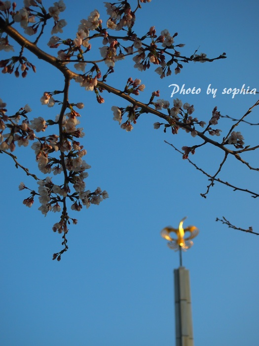 20130413sakura5.jpg