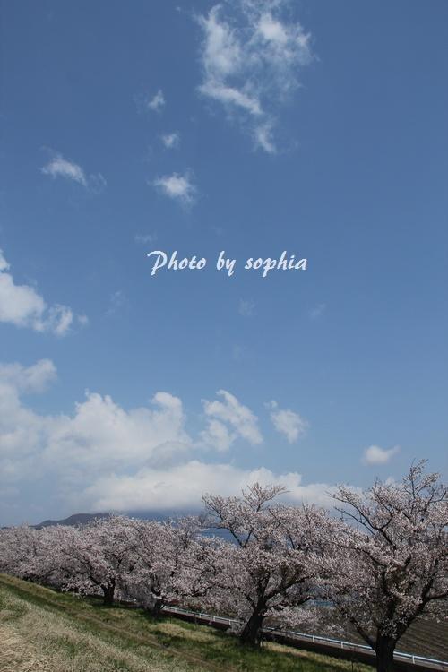 20130422sakura1.jpg