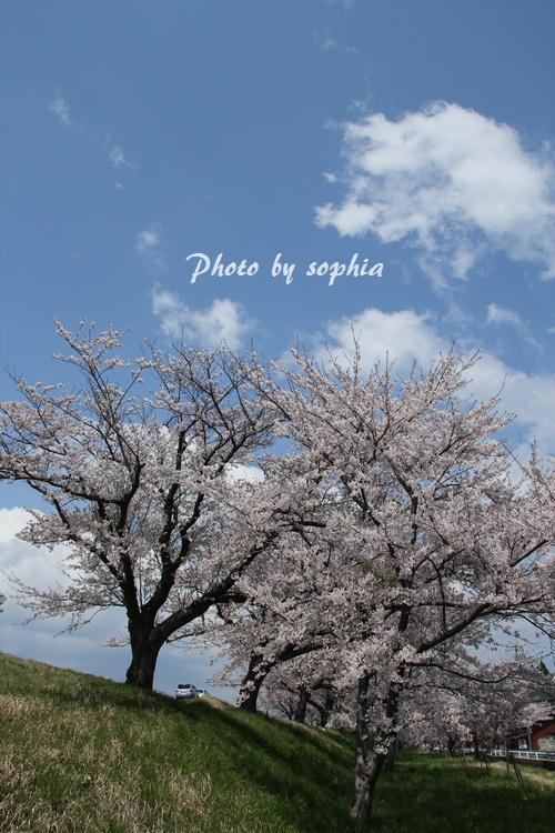 20130422sakura2.jpg