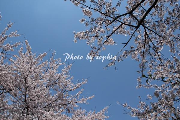 20130422sakura3.jpg