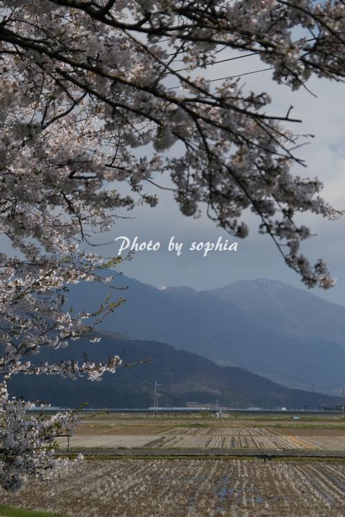 20130422sakura4.jpg