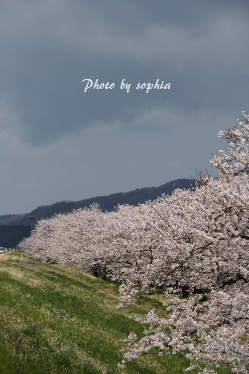 20130422sakura5.jpg