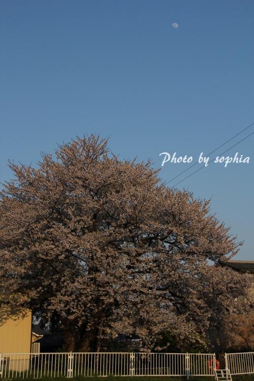 20130422sakuratuki.jpg