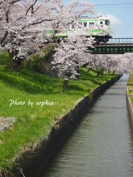 20130423桜&電車