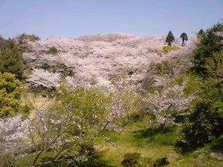 しまなみ海道は花盛り