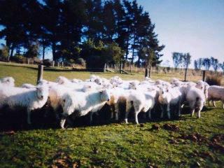 ニュージーランドには羊ですね