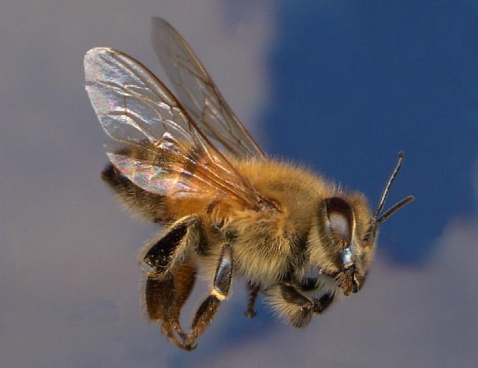 africanized-honeybee.jpg