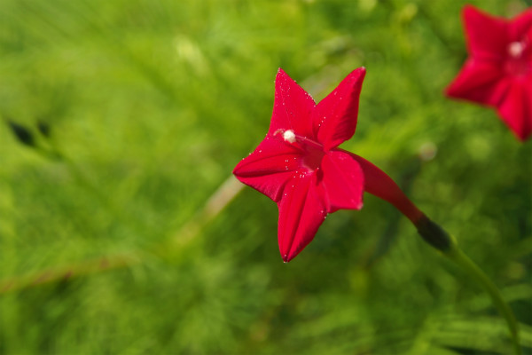 ルコウソウ ( 縷紅草 )
