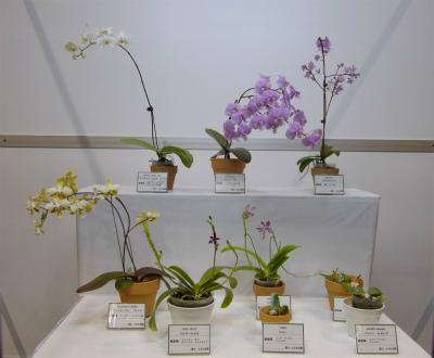 らん-10 原種胡蝶蘭