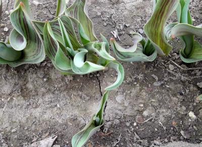 原種チューリップ