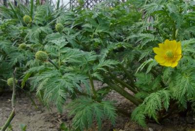 福寿草の花と種
