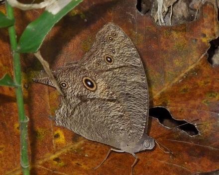 しょうちゃんの雑記蝶 ウスイロコノマチョウ