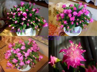 面白い咲き方~♪バラ咲き♪デンマークカクタス ピンクローズ満開になりました!2013.01.25