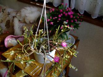 リプサリスとデンマークカクタスが同時に開花しているのでリプサリスの花に雄しべをつけてみました!2013.01.20