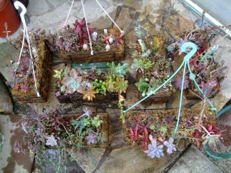多肉植物寄せ植え~秋の終りに作りました♪吊るして忘れてカリカリです。水やりタップリしました。2013.01.22