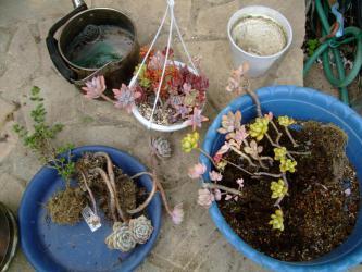 ヤカンに穴が空いたので多肉植物を植えてみます♪2013.01.23
