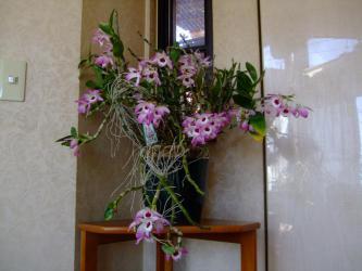 ◆デンドロビューム シギリヤレディー(Dendrobium Shigiriya Lady) 10年植替え無しで鬼咲きしてま~す♪2013.01.31