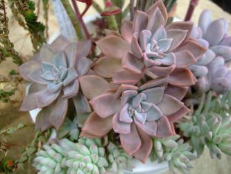 キレイなピンク色に~紅葉中♪エケベリア サブコリンボサ?グラプトベリア?花芽が上がっているので開花を待ちます。2013.02.03
