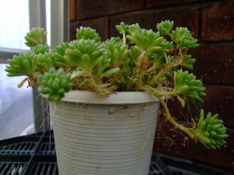 セダム ウィンクレリー(Sedum winkleri)鉢いっぱいになりました♪気根がいっぱい2013.02.04