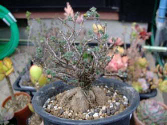 トリコディアデマ 姫紅小松~良い感じの塊根を少し見せて植え替え完了♪2013.02.05